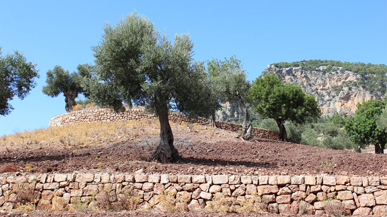 Son Moragues organic olive trees